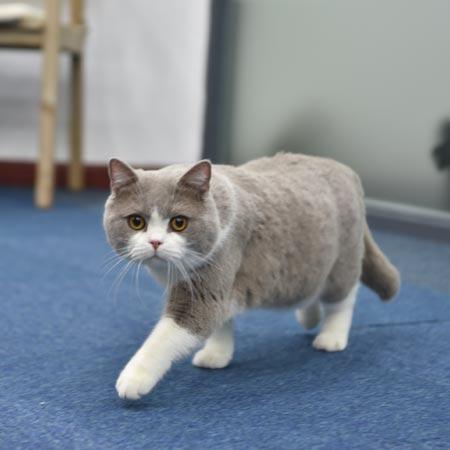 小林 英短 公猫 3岁
