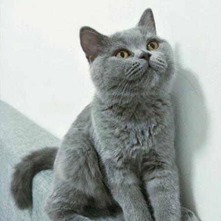 大林 英短 母猫 3岁